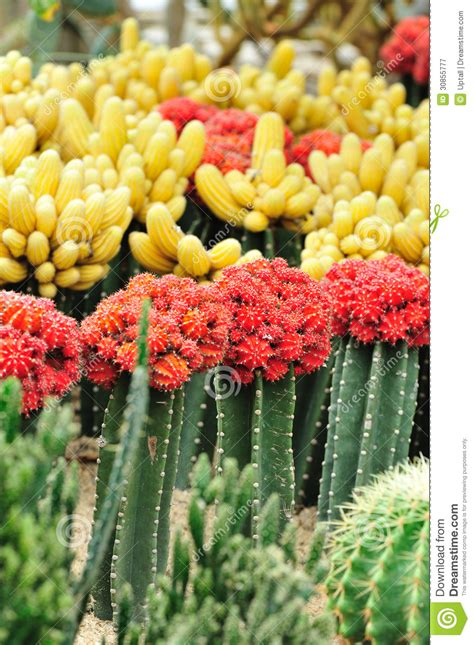 beautiful cacti flower garden royalty free stock