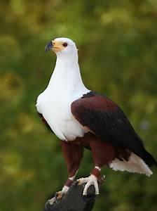 African Fish Eagle | Birds of Prey | Pinterest