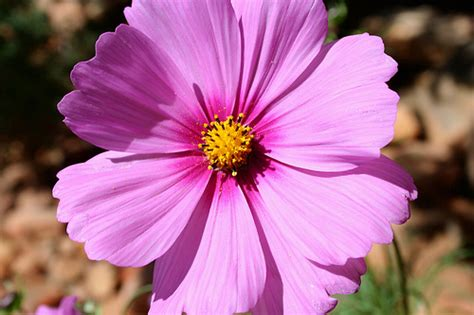 picture of cosmos flower cosmo flower pictures meanings chocolate cosmo flowers