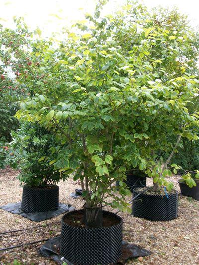 witch hazel tree varieties hamamelis intermedia witch hazel