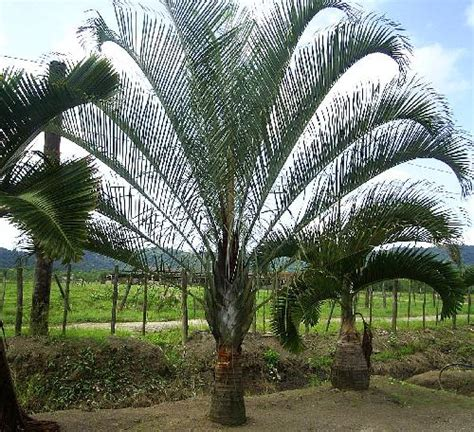 Palmeira Triangular - Imperial e Preço   Flores - Cultura Mix