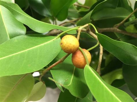 gardensonline ficus benjamina