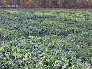 Brassica Fodder Crops for Fall Grazing | Center for ...