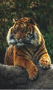 1000+ images about Tigers on Pinterest | Bengal tiger ...