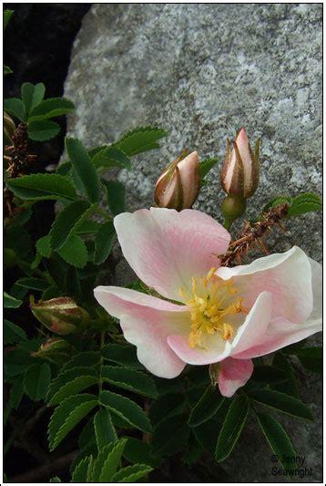irish wildflowers burnet rose