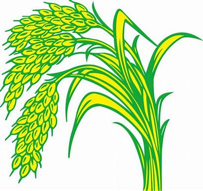 Rice Padi Gambar Kartun Paddy Clipart Field