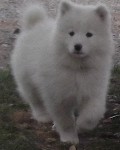 Samoyed Puppies For Sale Pittsburgh Pa 101736