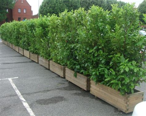 plant privacy screen screening plants in planters to contain growth out back pinterest the plant decks and