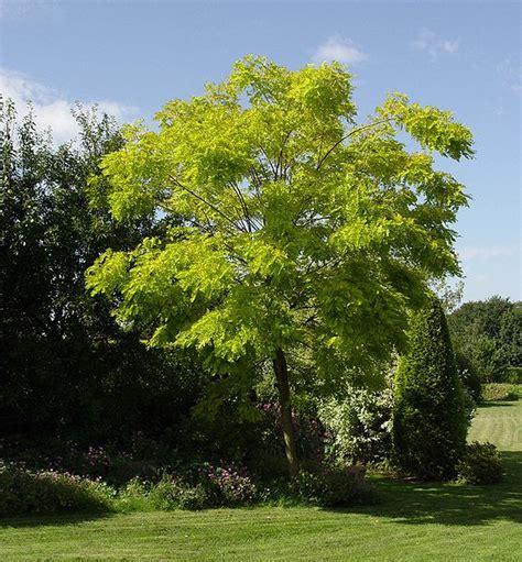 locust tree locust tree pictures photos facts on locust trees