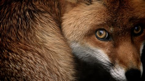 red fox wallpapers hd wallpapers id