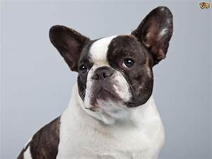 French Bulldog Dog Breed Information, Buying Advice ...