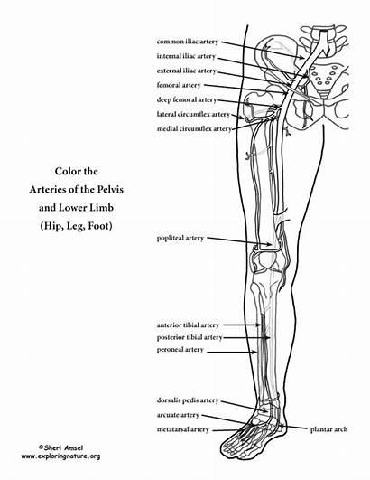 Lower Arteries Leg Coloring Limb Anatomy Foot