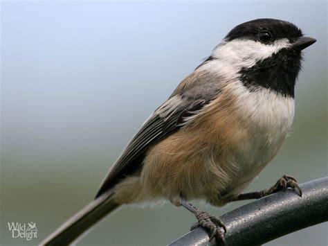 platform bird feeder black capped chickadee delightwild delight