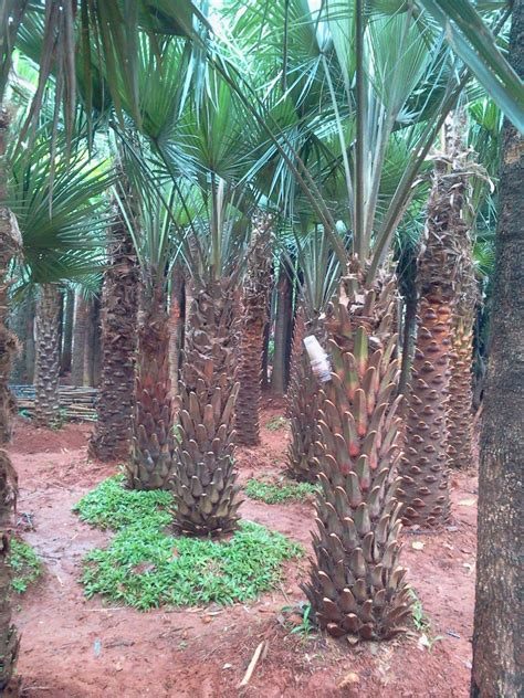 jual pohon palm moreli tanaman hias jenis pohon palm
