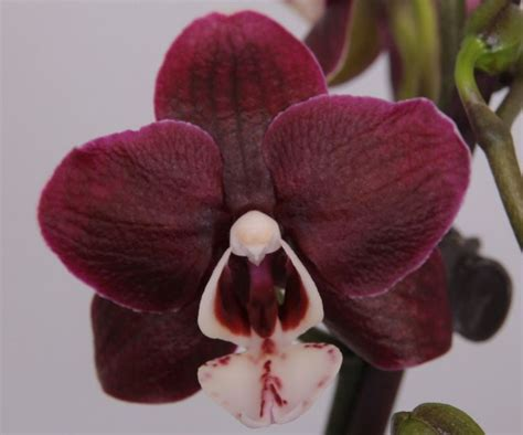 how to get phalaenopsis to bloom orchids shop eu phalaenopsis chocolate flavour grow