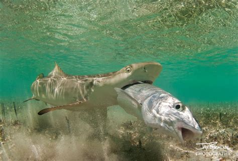 Lemon Shark and Bonefish — Jay Fleming
