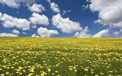 Field Flowers Wallpapers Yellow Flower Fields Background