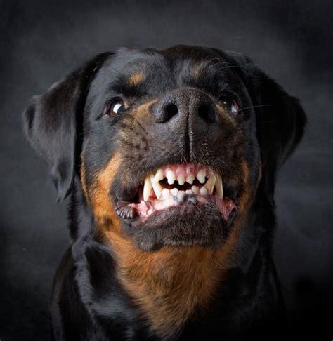 imagenes de perros rottweiler fondos wallpappers portadas