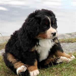 These Pictures of Bernese Mountain Dog Puppies Lead ...