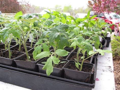 how to grow tomato at home 5 easy steps on how to grow tomatoes at home eveyo com