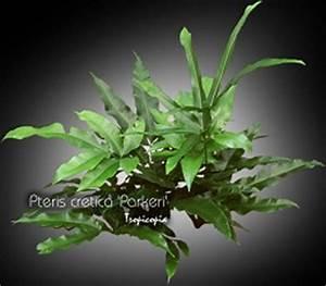 Fougère Pteris Cretica : tropicopia en ligne galerie d 39 images de plantes d 39 int rieur de polysticum sansevieria ~ Melissatoandfro.com Idées de Décoration