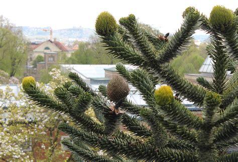 frostharte exoten fancy plants deutsch