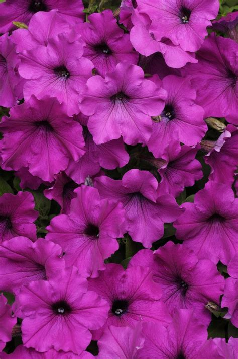 easy wave petunias 100 pelleted petunia seeds easy wave violet products violets and petunias