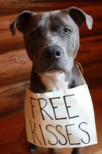free kisses pitbull dogs pitbulls dogs