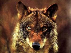 White Wolf : Animal Guides: What is the Wolf Spirit Animal ...