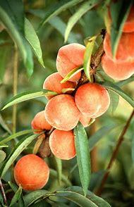 Food Journal Peach Tree Weight Loss Diet Bla…
