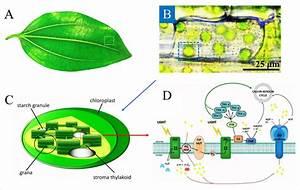 A  A Typical Plant Leaf   B  Chloroplasts Inside The
