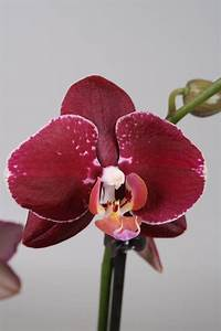 Alice Adventures Phalaenopsis Orchid 'Red Pioneer ...