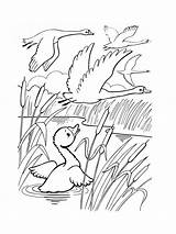 Coloring Pages Swan Birds Swans Printable Graceful Mycoloring sketch template