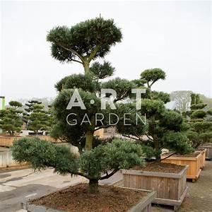 Arbre En Nuage : arbres nuages prix grossistes pinus parviflora glauca ~ Melissatoandfro.com Idées de Décoration