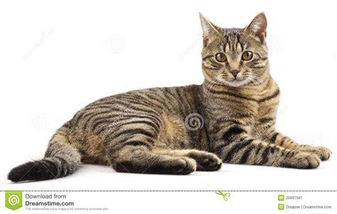 cat purebred striped preview