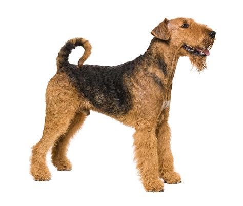 airedale terrier non shedding airedale terrier breed pictures photos images