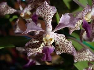 Orchidee Vanda Pflege : gro r schener orchideen vanda orchideen ~ Lizthompson.info Haus und Dekorationen