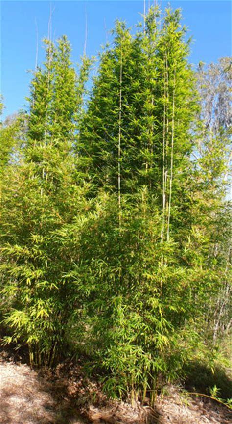 Bamboo Australia » Slender weaver?s bamboo