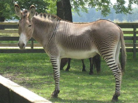 zonkey horse zebra donkey hybrid zebras animal zonky zebroid mule mix donkeys cross horses breed animals hybrids breeding zedonk half