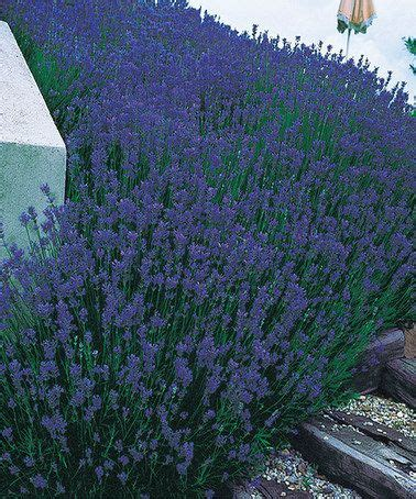 live lavender plants love this live phenomenal lavender by spring hill nursery on zulily zulilyfinds flowers and