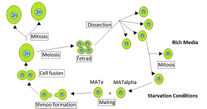 tetrad meiosis wikipedia