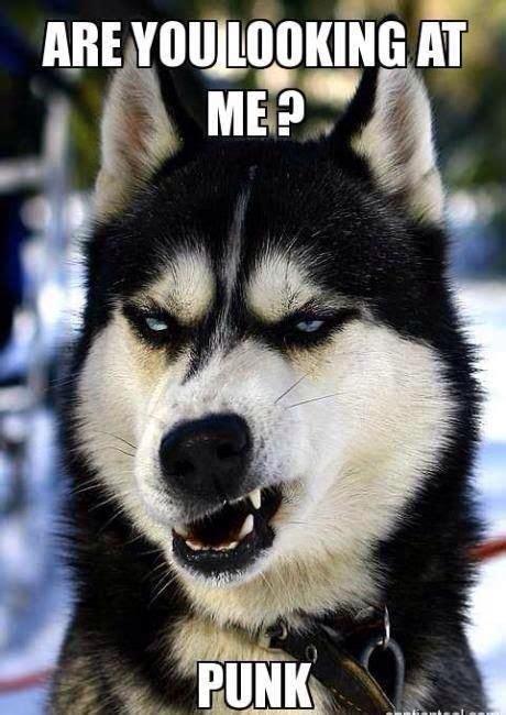 Funny Husky Dog Meme