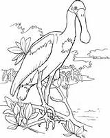 Spoonbill Roseate Coloring Bird Pages Clipart Printable Drawing Colouring Supercoloring Birds Clip Animal Adult Pink Drawings Cliparts Easy Categories Watercolor sketch template