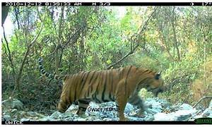 The Ecology of Tigers in the Intact Asian Landscapes of ...