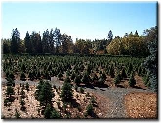mcburney christmas tree farm grass valley ca kid