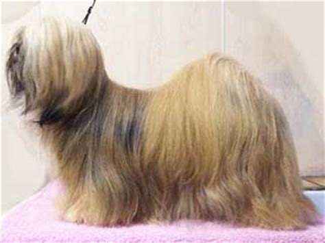 my lhasa apso is shedding hair lhasa apso information and facts breeds