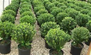 Japanese Yew Evergreen Shrub