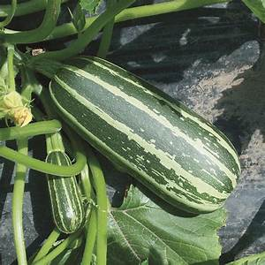 Marrow Bush Baby Seeds From Mr Fothergill U0026 39 S Seeds And Plants