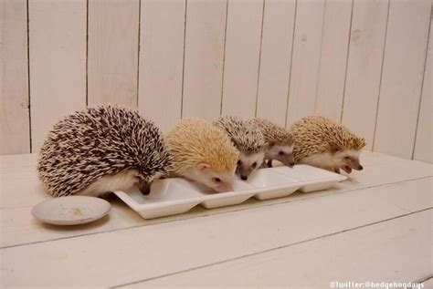 hedgehog colors a wide range of hedgehog colors baby animals cuteness