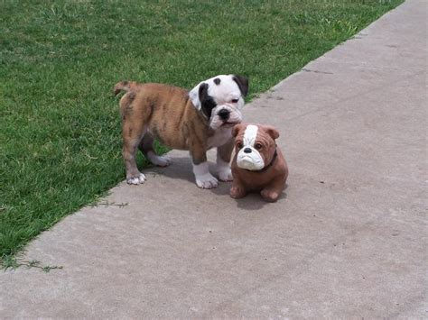 Filetwo Bulldog  Ee  Puppies Ee   One Real One Not Jpg